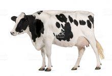 गाय क़ुरआन के दर्पण में