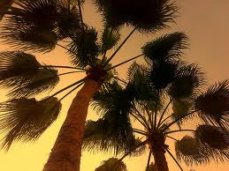 palm trees-yathrib
