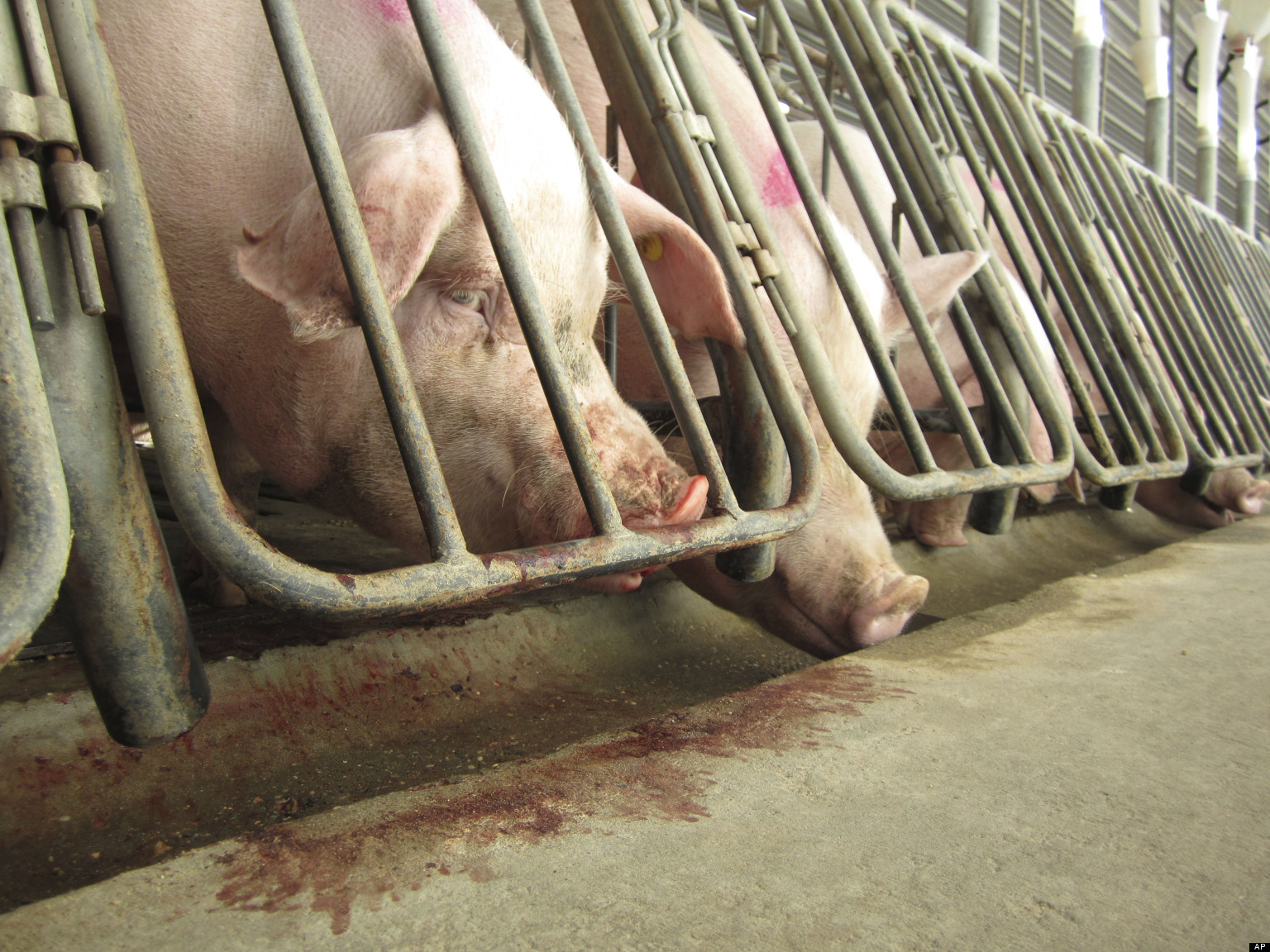 pigs_pork